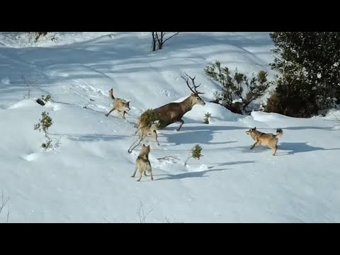 СЕРЫЕ ВОЛКИ В ДЕЛЕ! Универсальные лесные бойцы с четкой иерархией в стае!