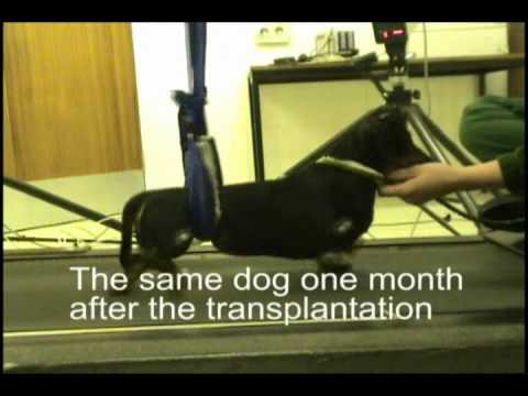 Treatment for paralysed dog.wmv