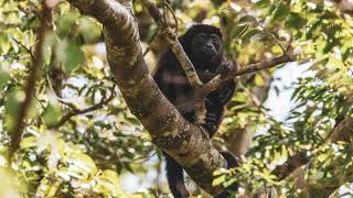 Howler Monkey   The largest New World monkey