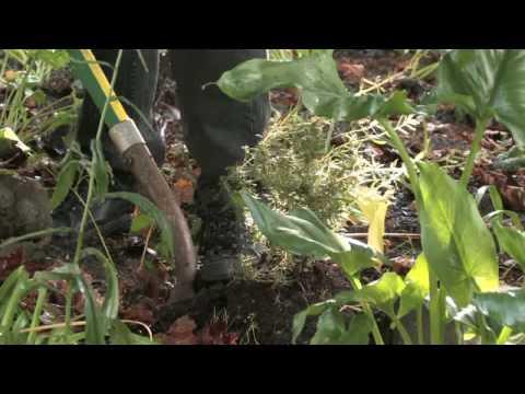 Growing Herbs : How to Grow Rosemary