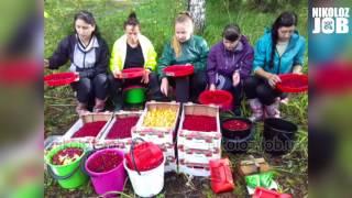 Сбор ягоды в Финляндии Отзывы девушек