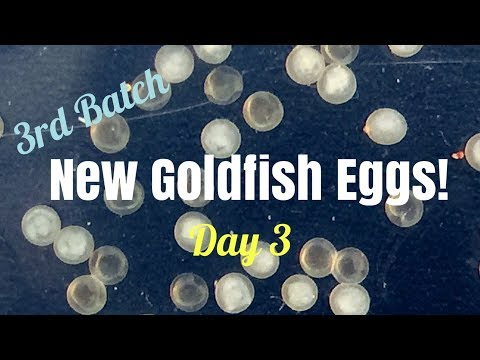 3rd Batch Goldfish Eggs - Day 3 - LuvGoldies