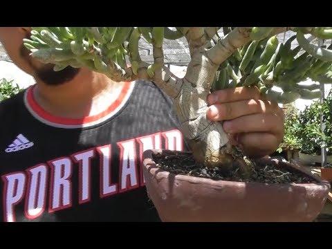 Portulacaria bonsai y otras suculentas