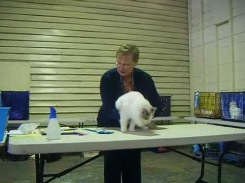 Ryder & Teddy in the top 10 Kittens 18/9/11 with TICA President Vickie Fisher :)