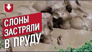 В Индии слоны спасали детеныша из пруда, но застряли сами. Посмотрите, как местные их спасали