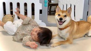 ゴロゴロ転がる柴犬と1歳娘の平和な日常