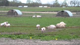 """Gambar cover Schweine in Freilandhaltung oder Camp """"Miss Piggy"""" (K 3)"""
