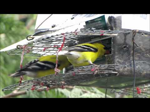 A Singer of Spring: The American Goldfinch
