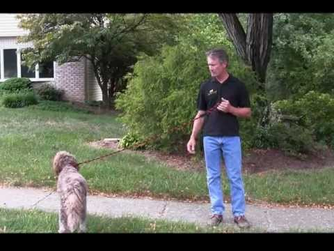 Alpha Dog Obedience Training - Basic Steps to Train Your Dog