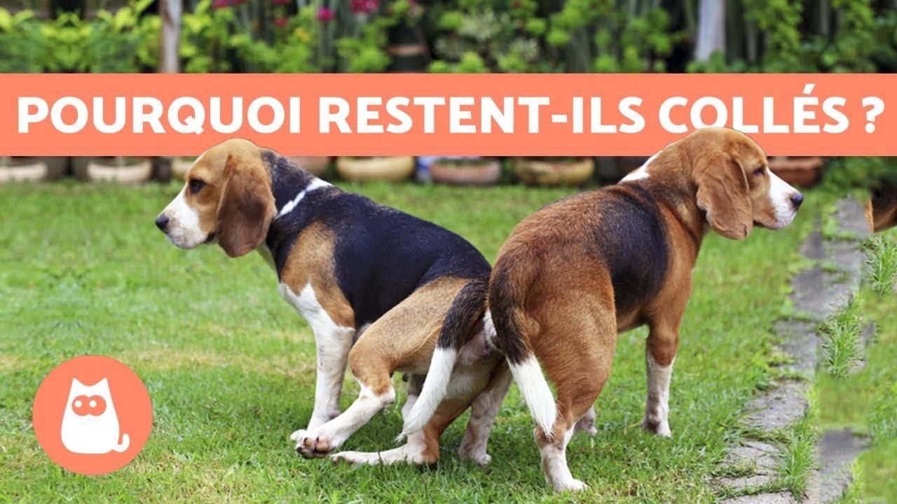 Download Pourquoi les chiens restent collés après l'accouplement ?