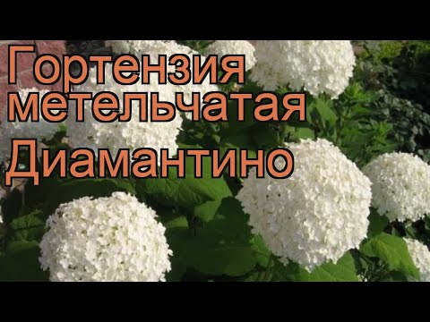 Гортензия метельчатая Диамантино (diamantino) 🌿 обзор: как сажать, саженцы гортензии Диамантино