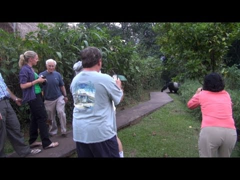 Gorillas visiting a luxury camp in Bwindi Uganda
