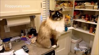 Ragdoll Cat Charlie Receives Quitit Pet Noise Maker - ねこ - ラグドール - Floppycats