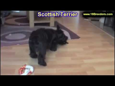 scottish-terrier,-puppies-for-sale,-in,-bellevue,-washington,-wa,-yakima,-kitsap,-thurston,-clark,-s