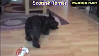 Scottish Terrier, Puppies For Sale, In, Bellevue, Washington, WA, Yakima, Kitsap, Thurston, Clark, S