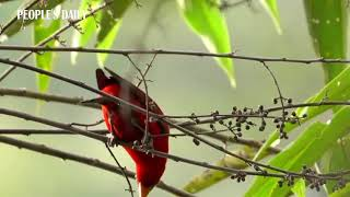 Hello, beauty! A rare crimson finch is spotted in Dehong, SW China's Yunnan.