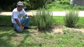 立性ローズマリーが茂ってきたので、 地面についている枝を剪定しました...