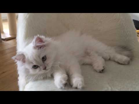 Cat - Chat | BRITIVANA | Molly Ma British Longhair Tortie !