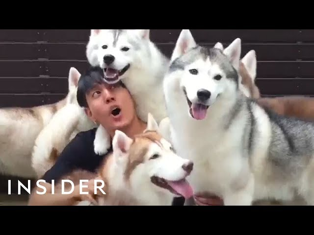 Café In Thailand Lets You Play With A Pack Of Huskies