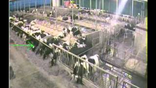 Feed Stalls Reduce Competition At The Feed Bunk