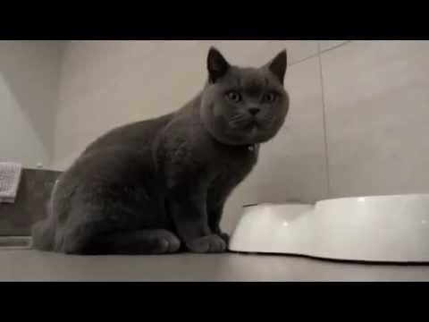 Британская кошка: характер породы - rukot.com