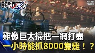 丹麥自動收割「雞」像巨大掃把一網打盡 一小時能抓8000隻雞!? 關鍵時刻 20180726-3 朱學恒