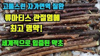 미역줄나무-류마티스관절…