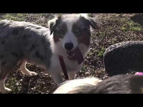 5 week old Australian Shepherd puppies