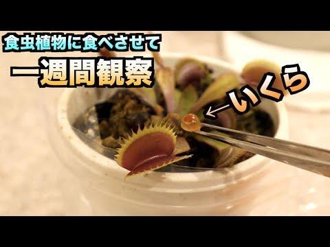 食虫植物にイクラを食べさせて一週間観察し続けたら突然変異が!?