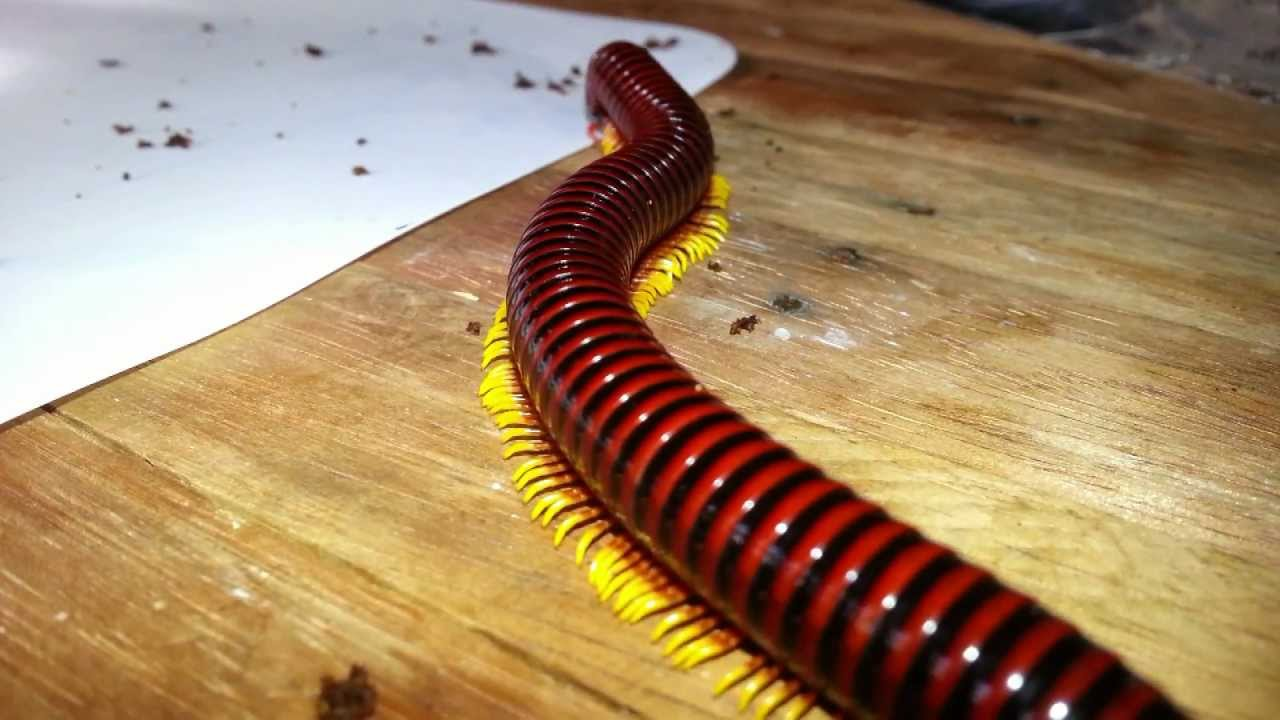 Trigoniulus macropygus - Flame leg millipede - YouTube
