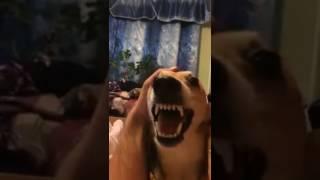 Прикол с собакой, ня ня ня)