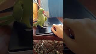 говорящий ожереловый попугай Микки