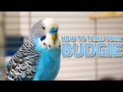How to Tame Your Budgies  Parakeets