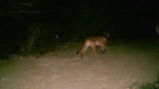 Rancho Silica (Pumas, Gato Rabon y Jaguarundi / Onza)