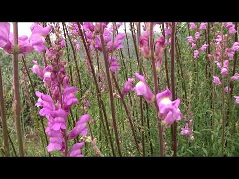 Boca de dragón silvestre: Antirrhinum majus (www.riomoros.com)