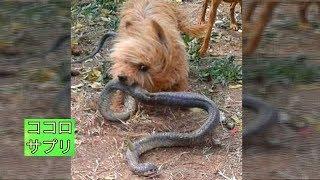 """ヨークシャーテリアの""""スパイク""""は、コブラに気が付かない飼い主を守ろ..."""