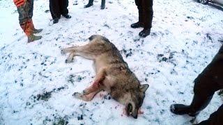 Охота #76 облава на волков(Instagram Мир Охотника: ▻ http://www.instagram.com/hunterworld777/ ○ группа вКонтакте