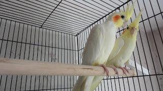 Брачная песня Кореллы. Попугайчики поют