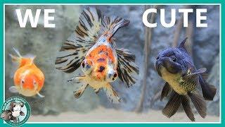 goldfish-aquarium-upgrade