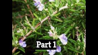 How to Prune Rosemary  Part One - The Gardening Tutor