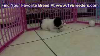 Toy Poodle, Puppies, For, Sale, In, Charleston, West Virginia, Wv, Williamson, Culloden, Kenova, Ple