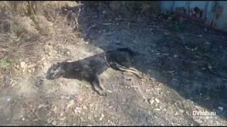 Возле биробиджанской пятиэтажки разлагается труп собаки