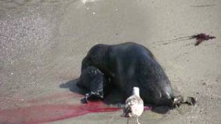 Video Baby Harbor Seal Birth download MP3, 3GP, MP4, WEBM, AVI, FLV Juli 2018