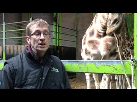 Belfast Zoo visitors' surprise as they witness birth of endangered Rothschild's giraffe calf