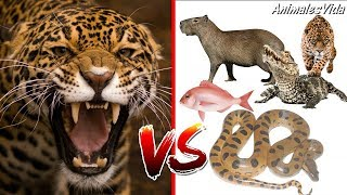 Jaguar VS Others great COMPILATION - Jaguar VS otros