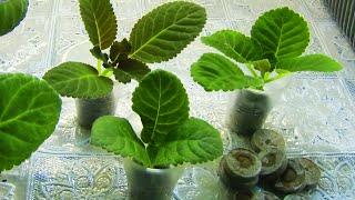 🌼Укоренение ГЛОКСИНИЙ макушками в торфяных таблетках !🌼🌱How to grow gloxinia part №25