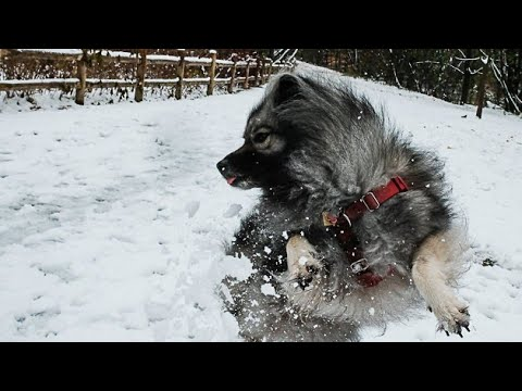 Keeshond dog video fhd 1080p