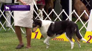Collie (Smooth)   Breed Judging 2021