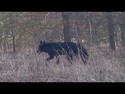 Rare Black Coyote Sighted In Austin | 10/2019