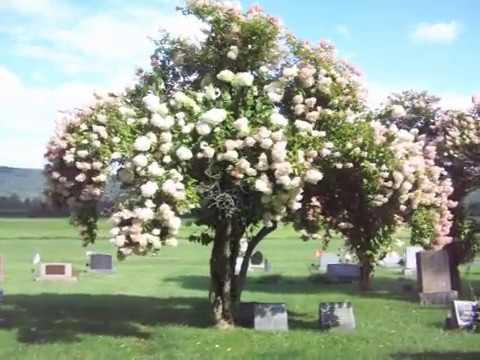 Very Old,properly Pruned Snowball Bush